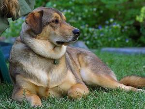 800px-Good_dog